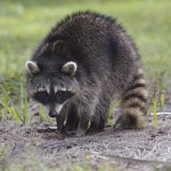 ABC-Humane-Wildlife-Raccoon